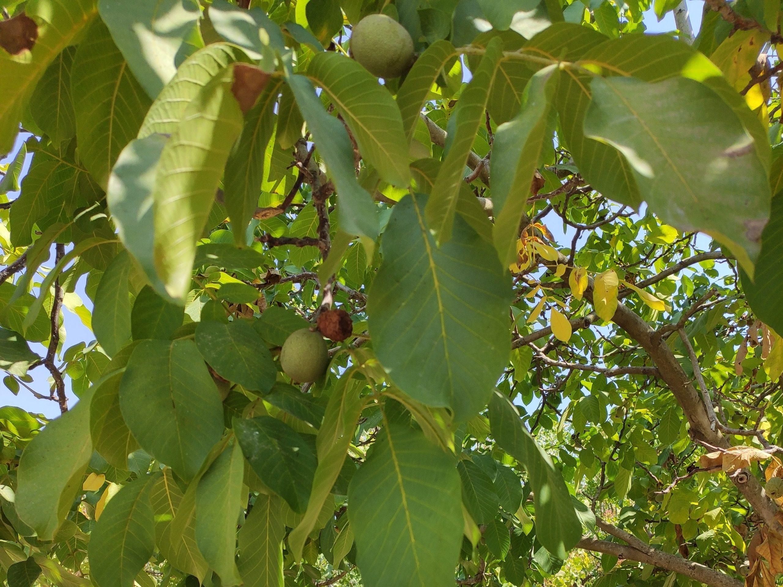 עצי אגוז מלך מסמנים את גבול מטע הפיסטוקים